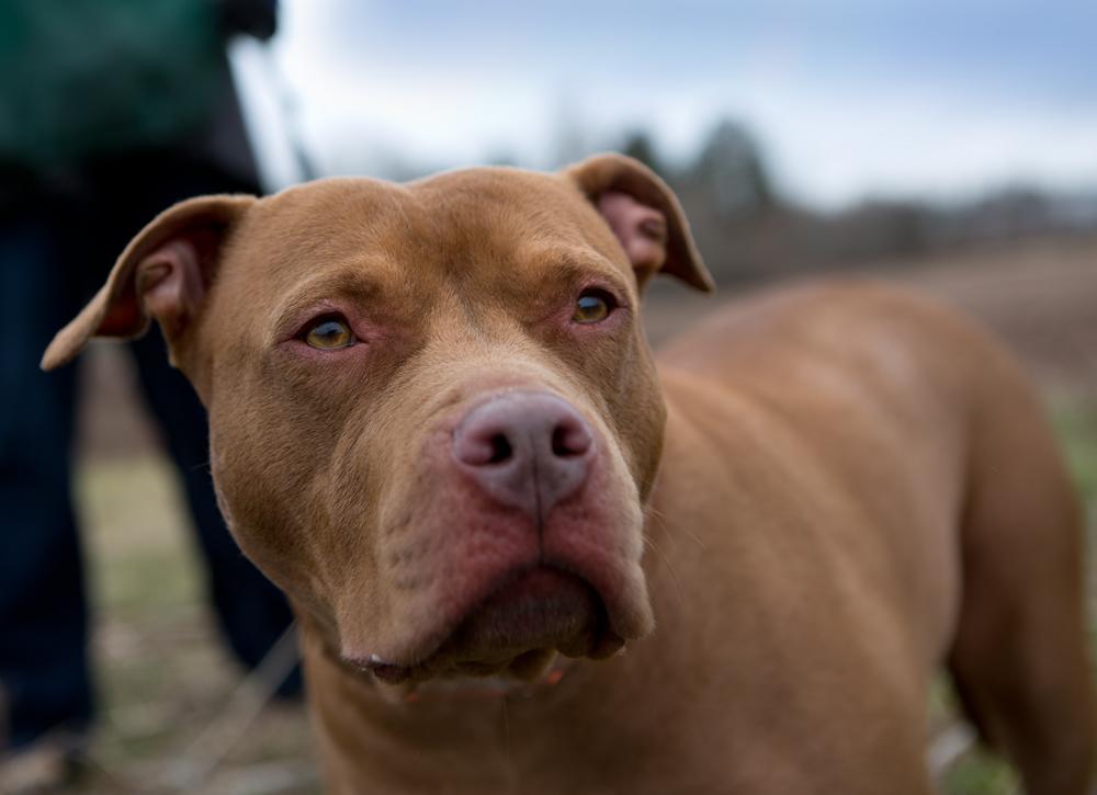 Most Inspiring Pitbull Chubby Adorable Dog - pippa  Graphic_331965  .jpg
