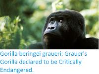 http://sciencythoughts.blogspot.com/2016/10/gorilla-beringei-graueri-grauers.html