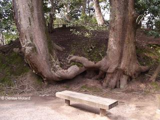 The 'Two Lovers' trees - Kenroku-en Garden, Kanazawa, Japan