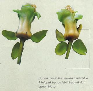Bibit Durian Pelangi Banyuwangi Memiliki Ciri Yang Khas