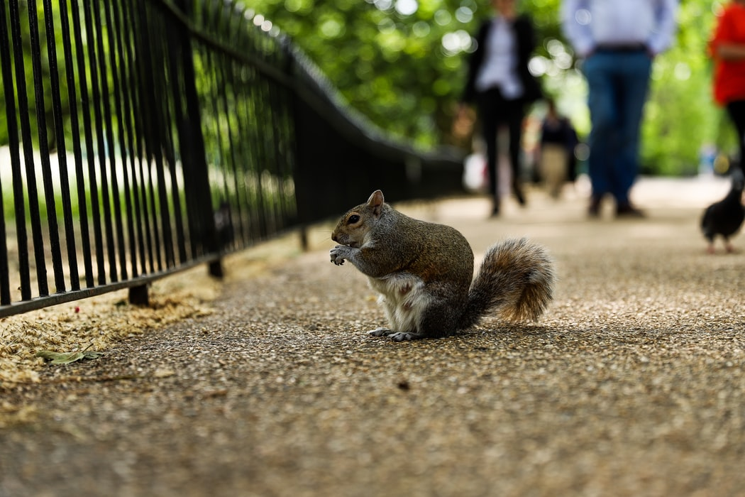 London Squirrels - Londra Sincap