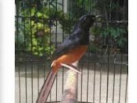 Jenis-Jenis Burung Murai Batu Medan dan Penjelasannya