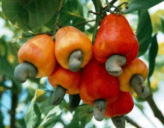 Syed Akbar Journalist Cashew is good for health