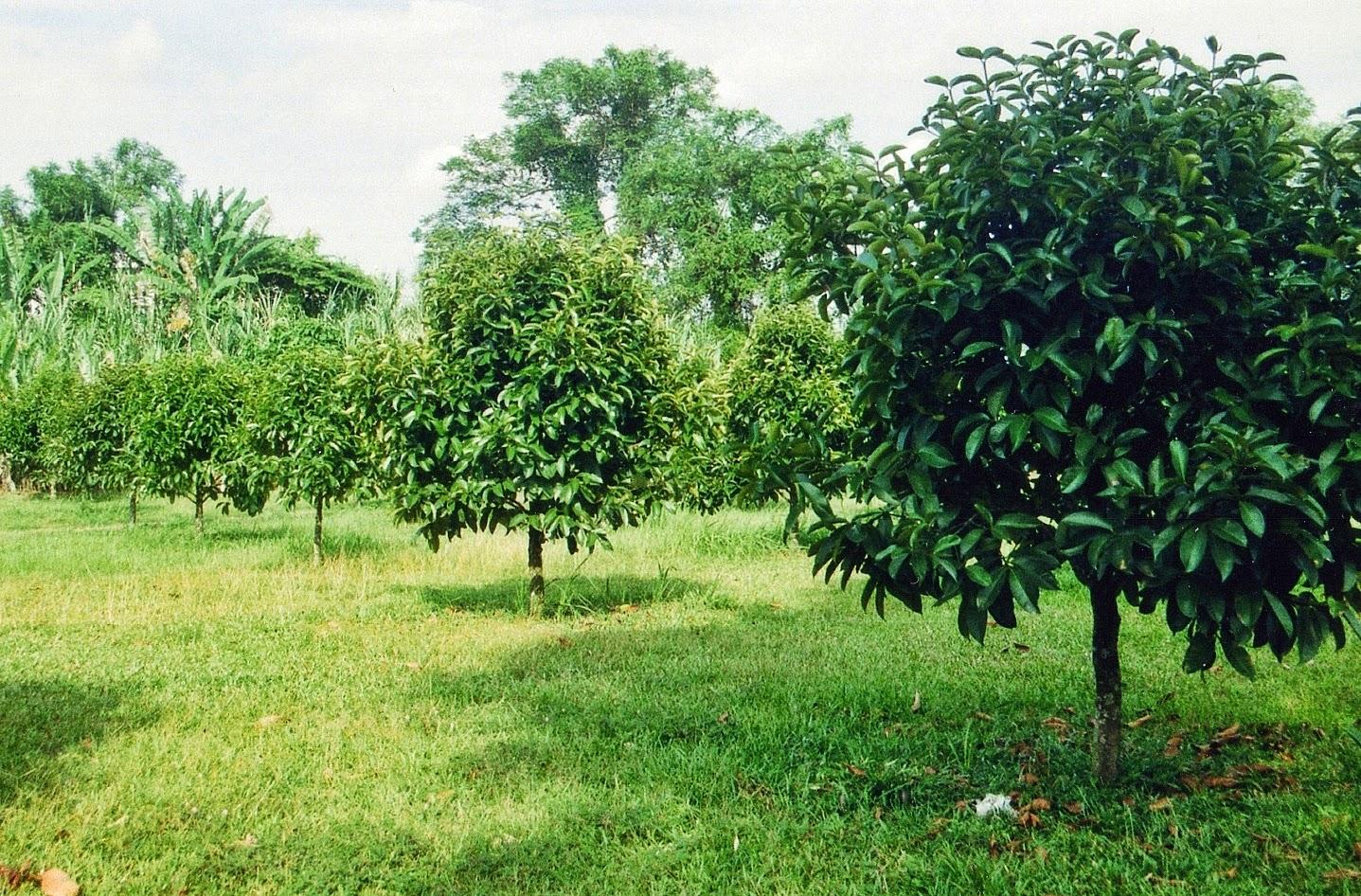 pianta di mangostano