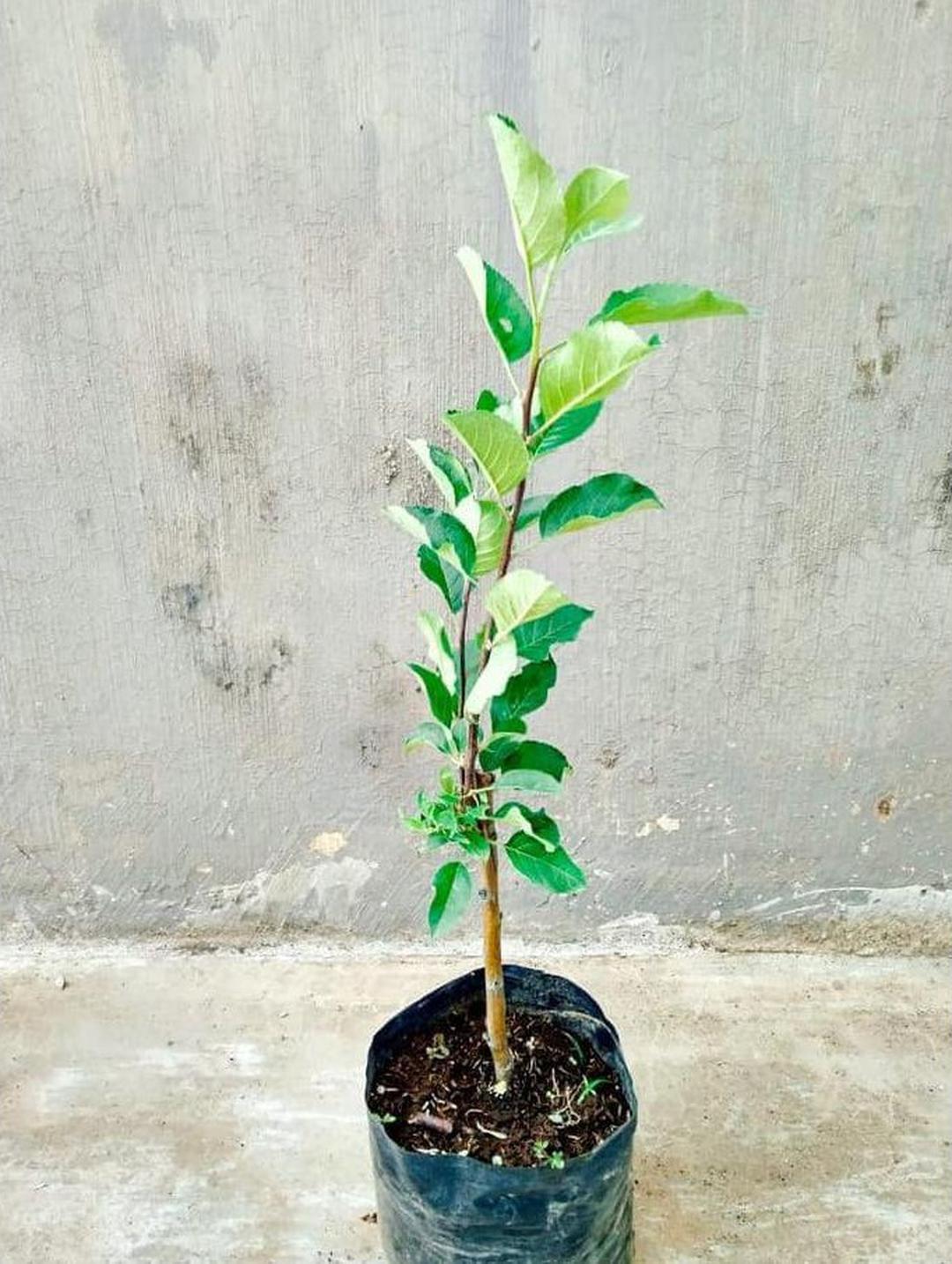 Stok banyak! Pohon Apel Anna Tanaman Buah Apple Ana Malang Bibit Stella Unggul Kota Jakarta #bibit buah langka