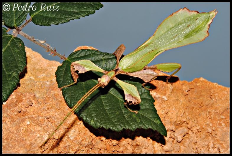 Macho adulto de Phyllium ericoriai, 6 cm de longitud