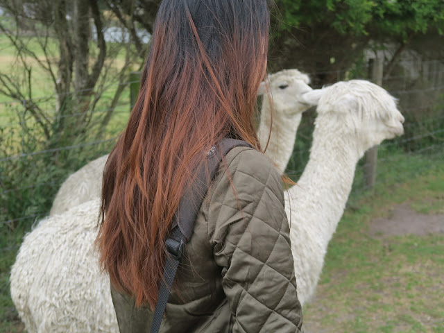 Back view of me and some alpacas,  Maru Koala and Animal Park, melbourne, australia