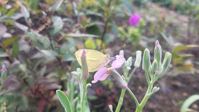 в гости прилетела сентябрьская бабочка...