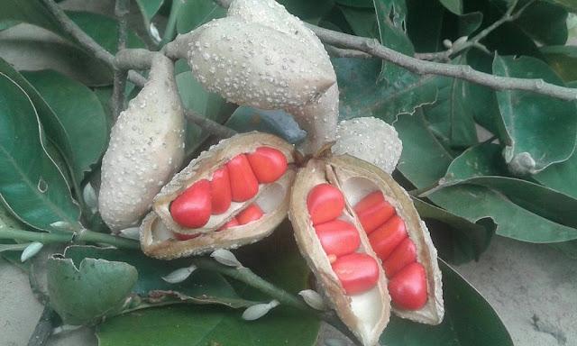 Quả và hạt Giổi (Dổi) - Talauma gioi - Nguyên liệu làm thuốc Chữa Tê Thấp và Đau Nhức