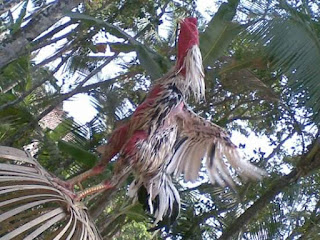 Cara mudah memerahkan badan ayam aduan dengan cepat