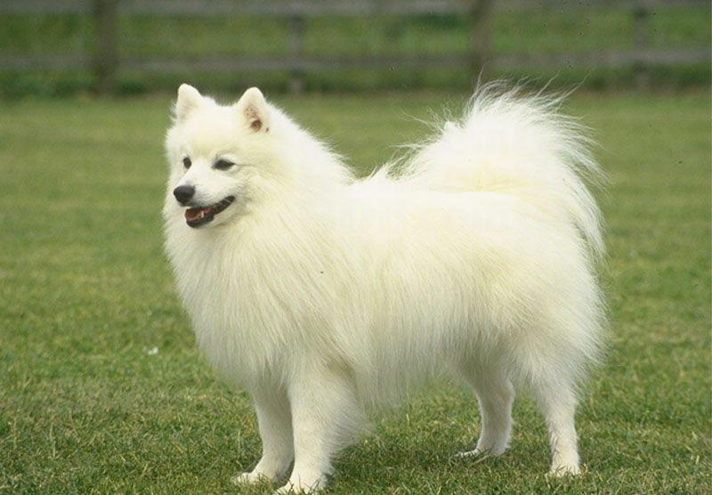 Cute Dogs Pomeranian Dog