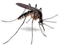 Cara Membuat Penangkal & Pengusir Nyamuk Alami