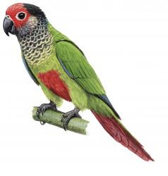 Rose fronted Parakeet