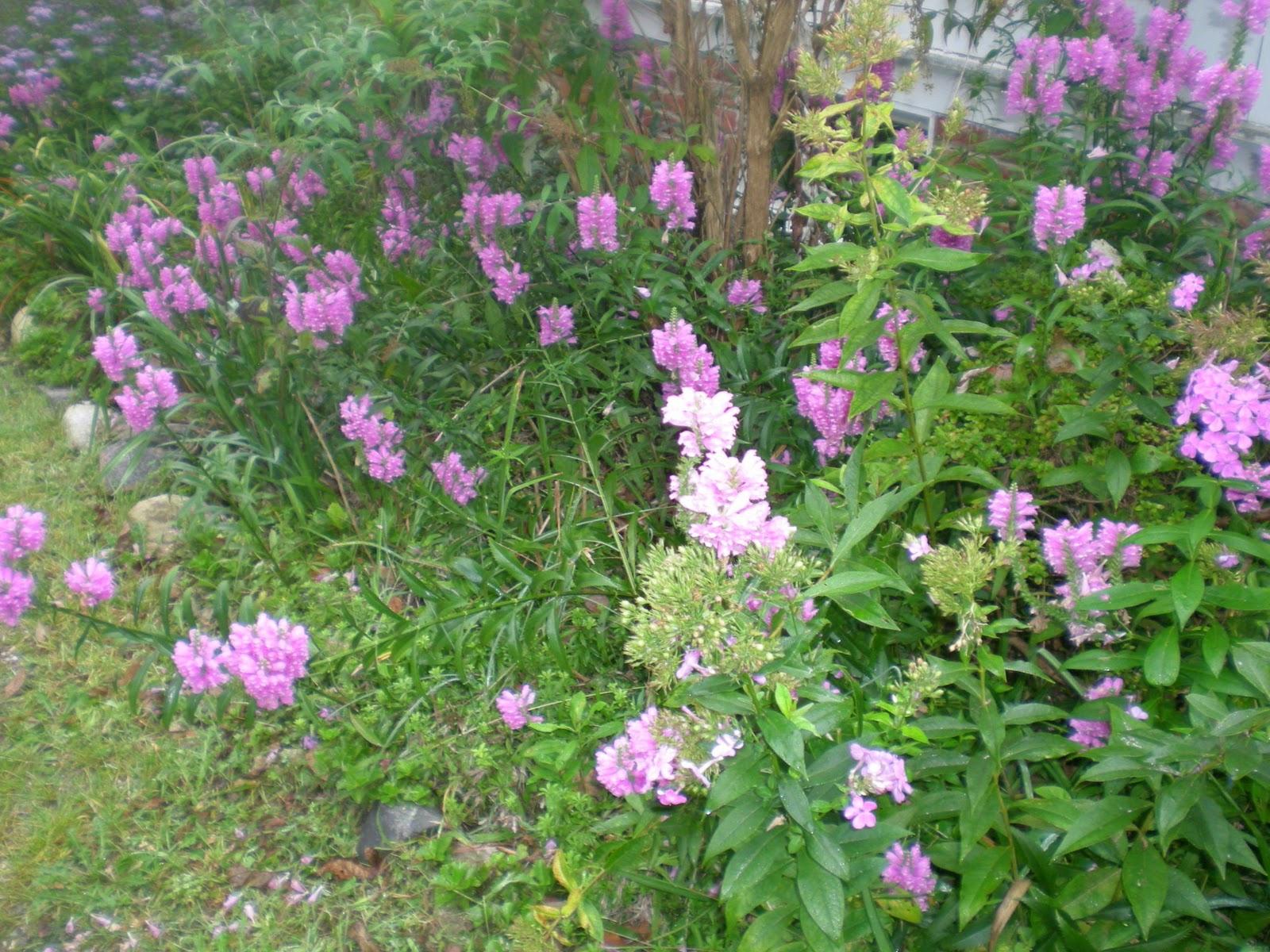 Jarvis House Deep Purple Flowering Shrubs In September At