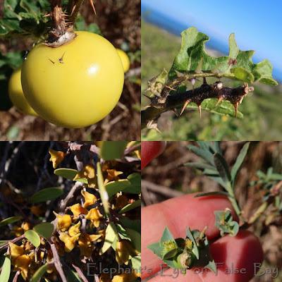 Solanum at Slangkop in April