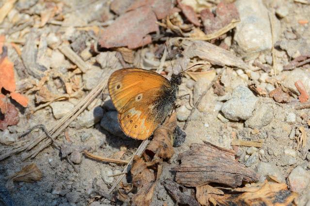 Coenonympha corinna