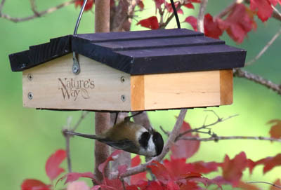 Photo of Black-capped Chickadee at upside-down suet feeder