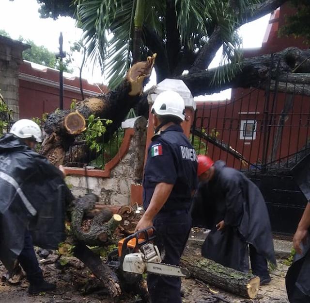 Cae vetusto árbol del atrio de la iglesia de Santa Lucía