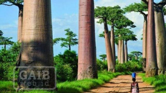 Gambar Pohon Baobab Afrika Asli