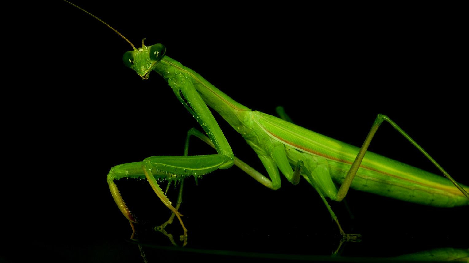Natural Roses: Benefits of praying mantis