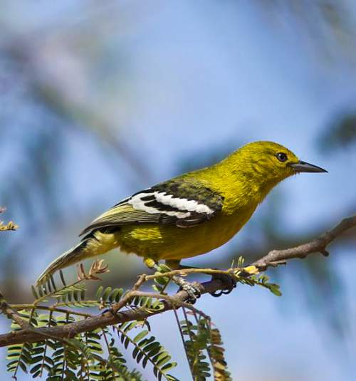 Birds of India - Photo of Marshall's iora - Aegithina nigrolutea