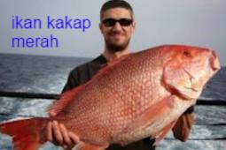 Ciri Ciri Ikan Kakap Merah