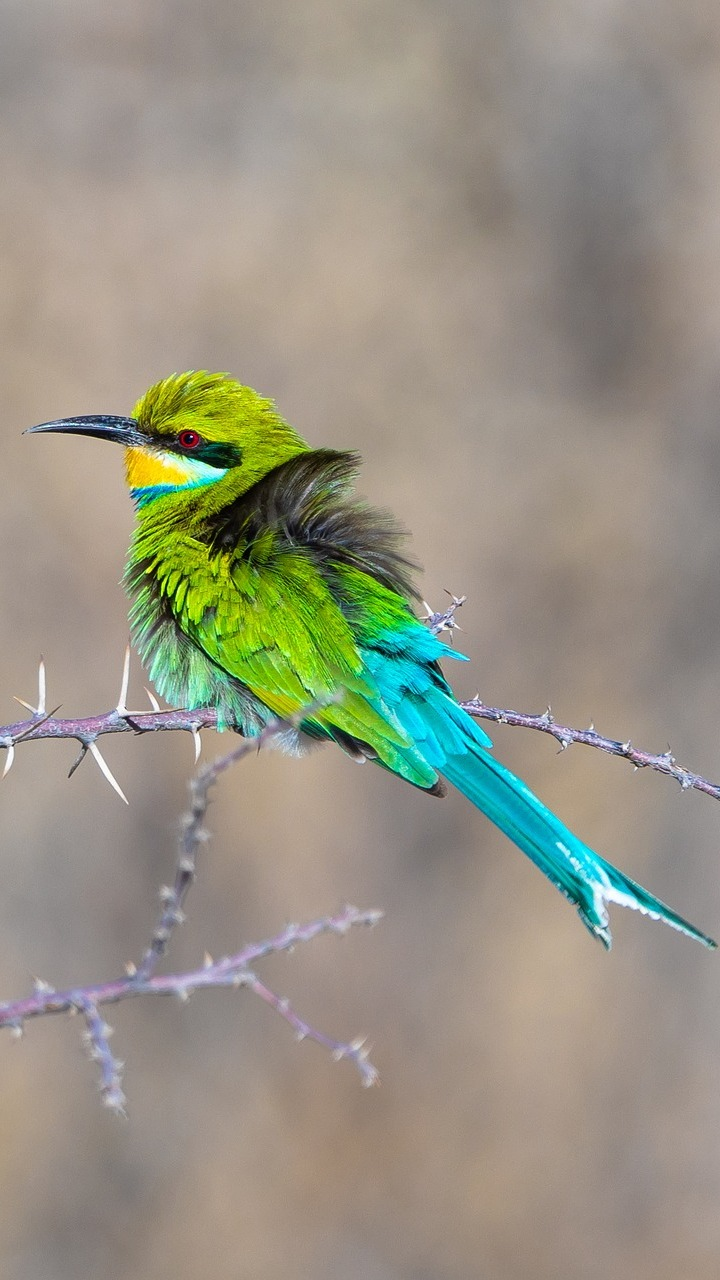 Picture of a colorful bee-eater.