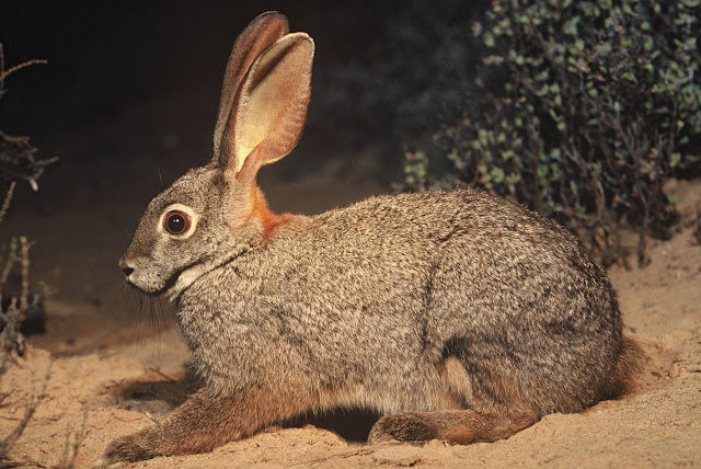 Quick facts about Riverine Rabbit 3