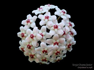 Suculenta Hoya carnosa