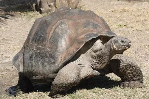 gambar reptil kura kura galapagos