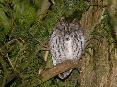 Photo of Western Screech-Owl roosting in a cedar tree
