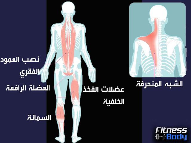 كم عضلة في جسم الانسان