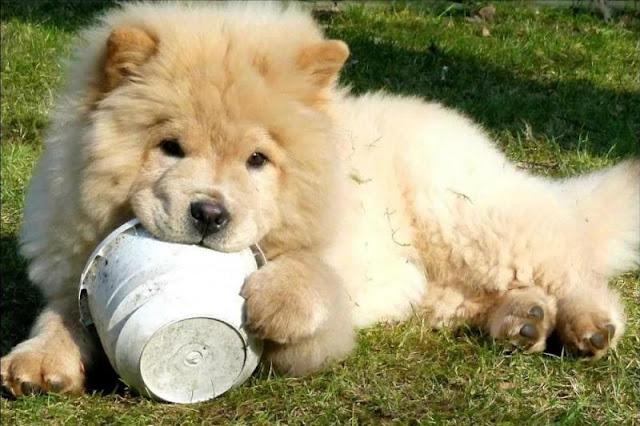 Nếu chó chán ăn thì phải làm sao?