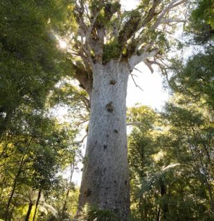 Pohon Tane Mahuta – Pohon Kauri