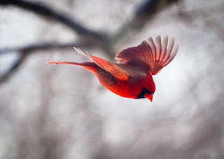 picture of small red bird flying