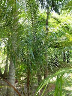 Lytocaryum weddellianum - Palmier gracieux - Cocotier de Weddell