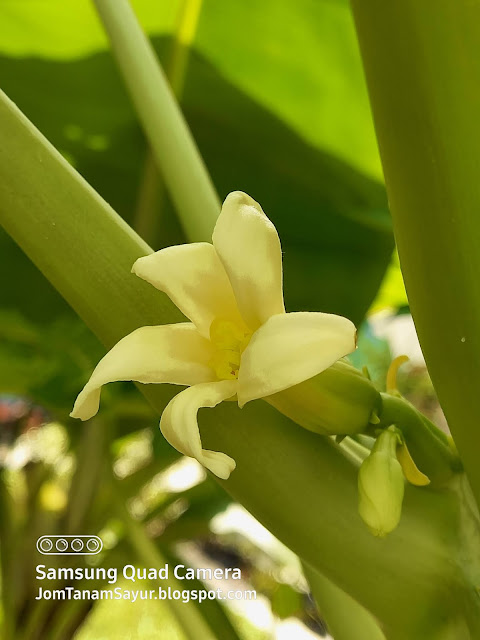 Bunga betik dwijantina