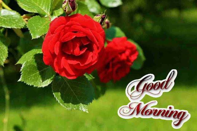 Beautiful good morning with a red rose flowers