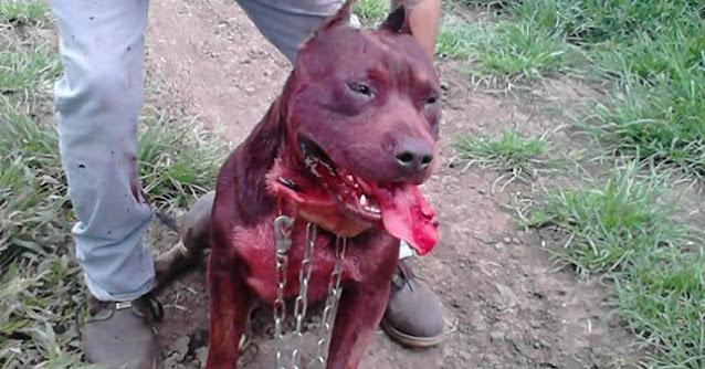 Severas sanciones contra promotores de pelea de perros, zoófilos y crueles