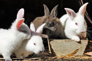 keuntungan beternak kelinci - catatanadi