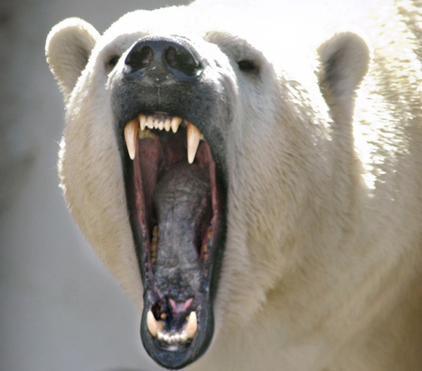 gấu trắng
