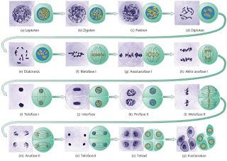 Tahap-tahap pembelahan meiosis