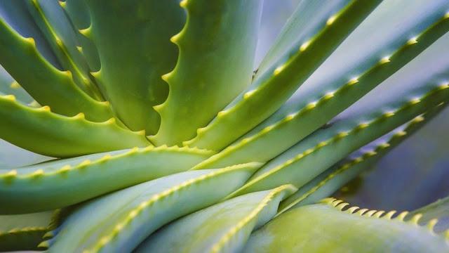 Manfaat Lidah Buaya atau aloe vera