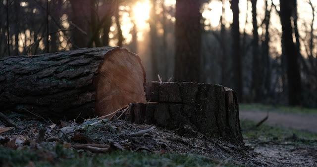 伐採後の切り株
