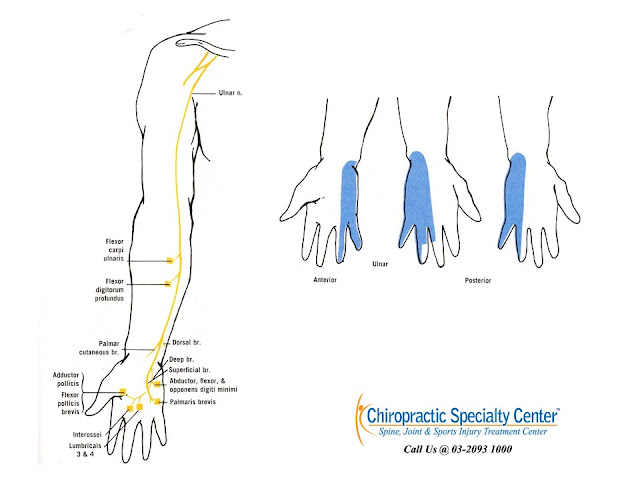 Ulnar nerve distribution