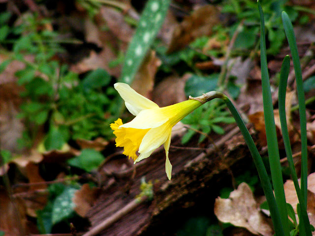 Wild Daffodil Narcissus pseudonarcissus.  Indre et Loire, France. Photographed by Susan Walter. Tour the Loire Valley with a classic car and a private guide.