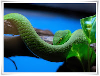Viper Snake Animal Pictures