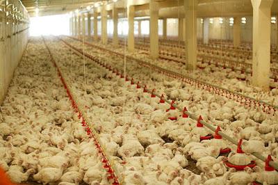 polli d'allevamento