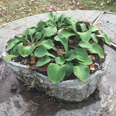 Blue Mouse Ears hosta in Hypertufa Pot