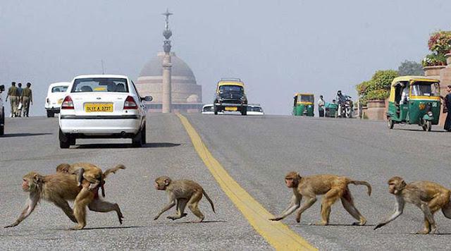 Serangan Monyet